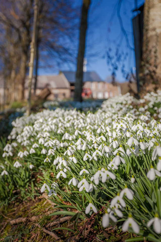 Les perce-neiges apparaissent en Normandie - Snowdrops appear in Normandy © Sabina Lorkin @anibasphotography #CestBeauLaManche