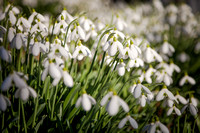 Les perce-neiges apparaissent en Normandie - Snowdrops appear in Normandy